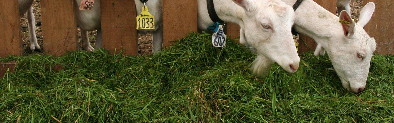 Goats eating grass