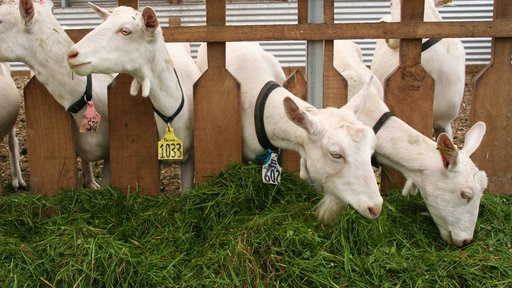 Goats eating grass
