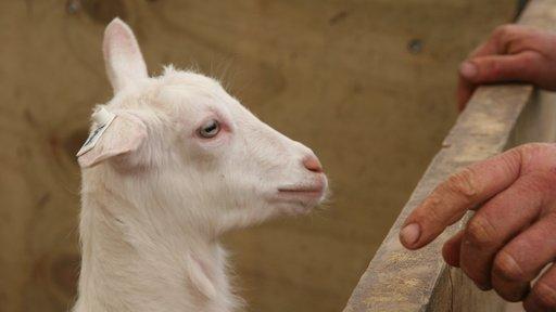 Little goat approaching fence