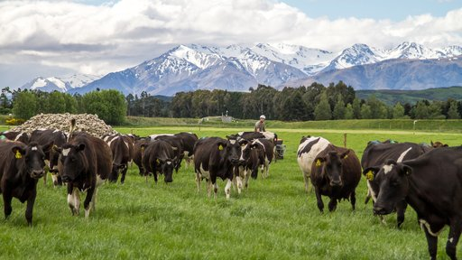 Farmer on quad with cows