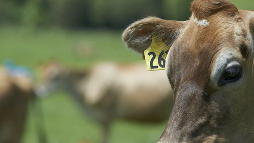 Close up jersey cow