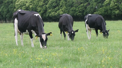 Holstein friesian cows grazing in long grass
