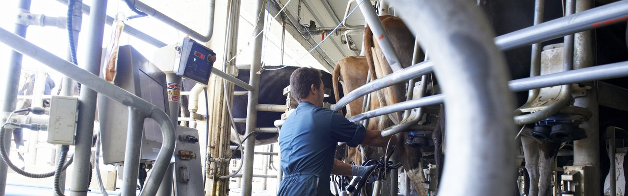 Milking at Innovation farm