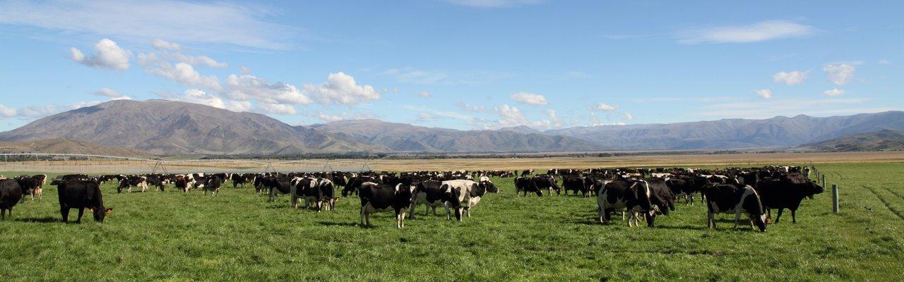 South Island dairy farm