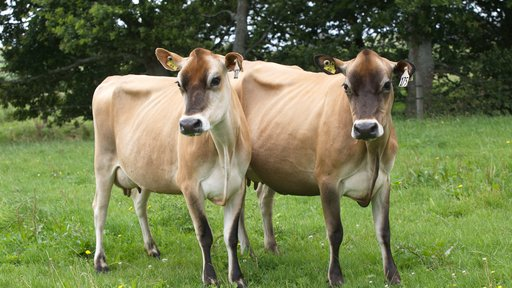 2 Jersey cows