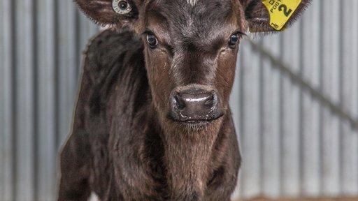 KiwiCross calf