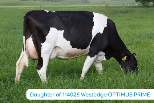 Daughter of 114026 Westedge OPTIMUS PRIME