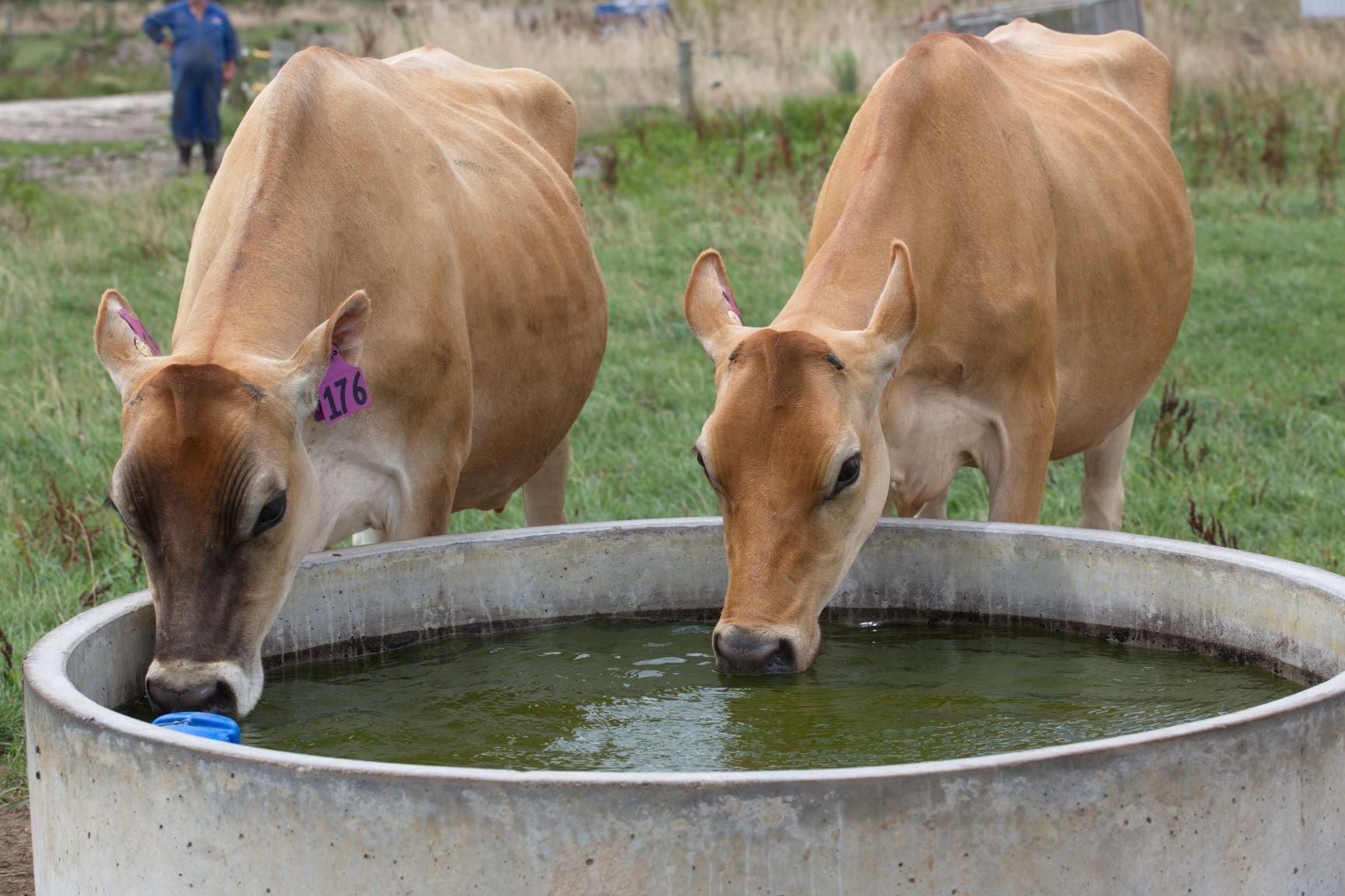 Jerseys drinking from trough