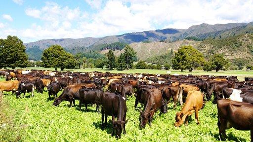 Kiwicross Cows