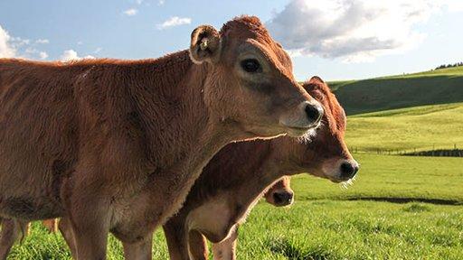Jersey cow - media release