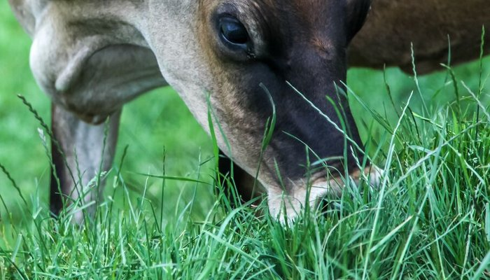 Jersey cow grazing - close up