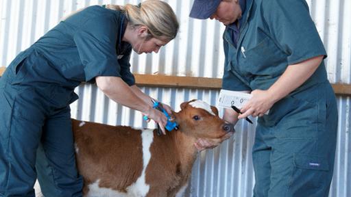 BVD calf test