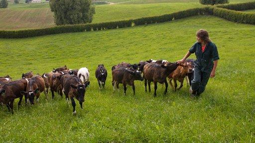 Farmer with calves