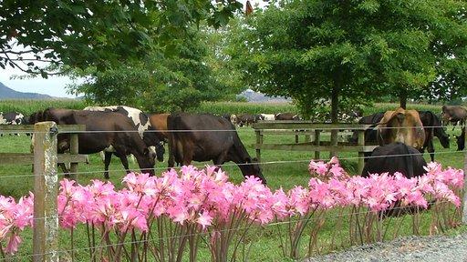 Kiwicross herd grazing